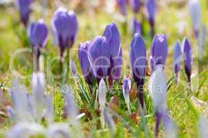 Blühende violette Krokusse im Frühling