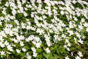Blühende Buschwindröschen (Anemone nemorosa)