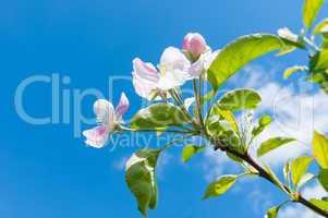 Zweig eines blühenden Apfelbaums