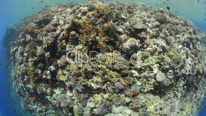 Fish eye view of a Pristine coral
