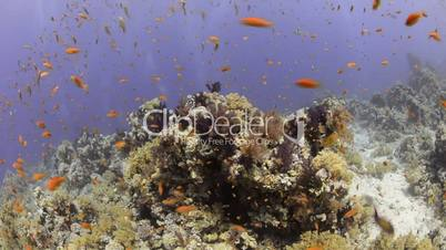 Pristine coral reef habitat and shoal/school of anthias