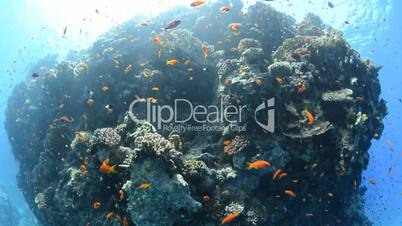 Fish eye view of a Pristine coral reef