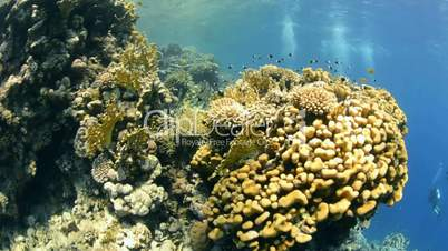 Pristine hard coral reef colony in shallow water