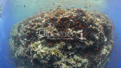 Wide angle view of a steep pristine coral reef wall