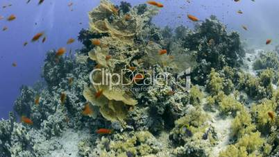 Sea Fan coral reef colony