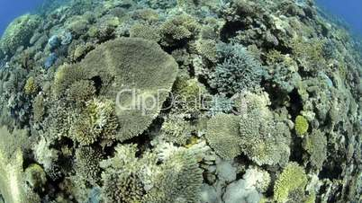 Fish eye top view of a Pristine hard coral reef
