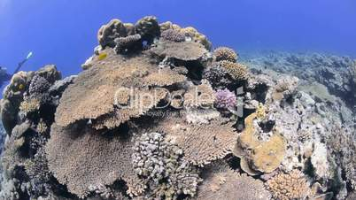 Top view of a table coral colony