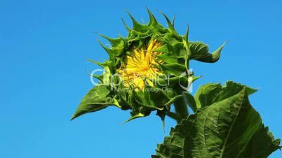 flowering sunflower