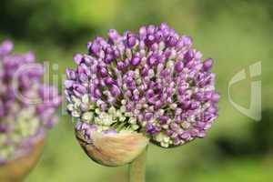 Violette Knospen im Garten