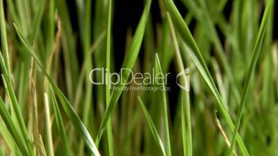 Green grass, black background.