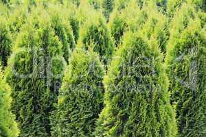 Hintergrund - Grüne Tujas in Reihe