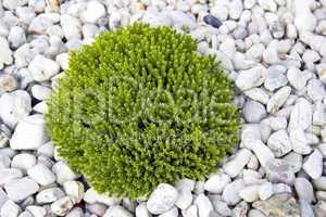 Grüne Pflanze auf weissen Kieselsteinen