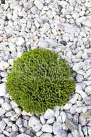 Grüne Pflanze auf Kiesel