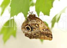 common blue morpho butterfly