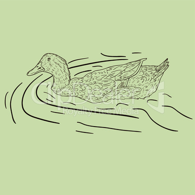 Wild duck. Hand-painted vector illustration.