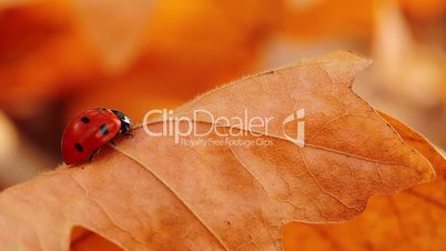ladybird on an autumn leaf