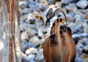 Wild goat (Kri-Kri).