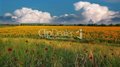 summer landscape - field of sunflowers on a background cloudy sky