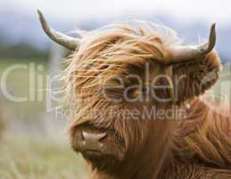 young brown highland cattle