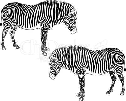 Two zebras. Vector illustration.