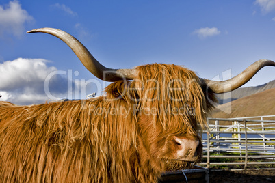 brown highland cattle with blue sky in background