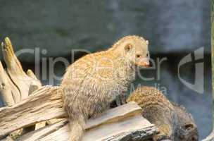 Meerkat - Suricata suricatta
