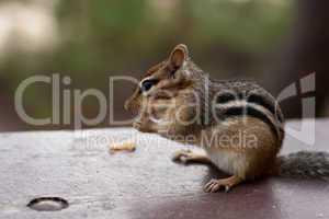 Alert Chipmunk Sitting Eating on Picinic Table