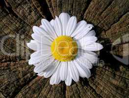 weiße Blüte I