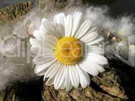 weiße Blüte II
