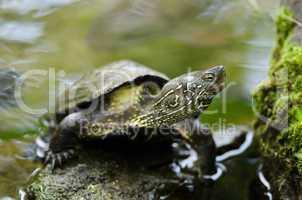 Chinese pond turtle, Mauremys reevesii
