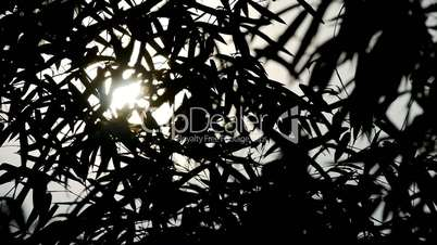 wind shaking bamboo silhouette,quiet atmosphere in sunshine.
