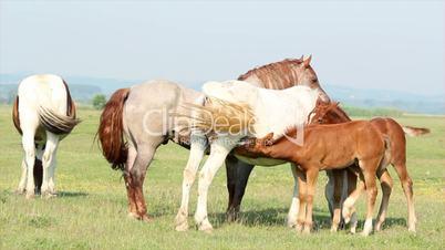 foal feeding with milk