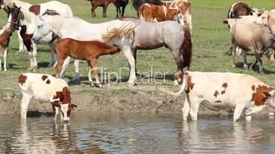 mare feeding foal with milk