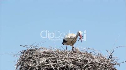 white stork building nest