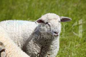 Portrait von einem Schaf auf der Wiese - Portrait of a sheep on the meadow