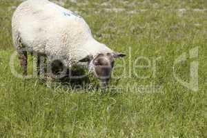 Ein Schaf auf einer grünen Wiese an der Nordseeküste in Neuharlingersiel. A sheep on a green meadow on the North Sea coast in Neuharlingersiel.