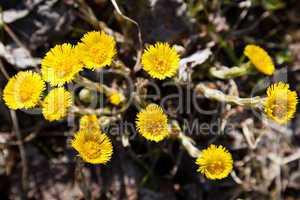 Foalfoot coltsfoot flower