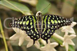 Grüner Kolibrifalter - Schmetterling