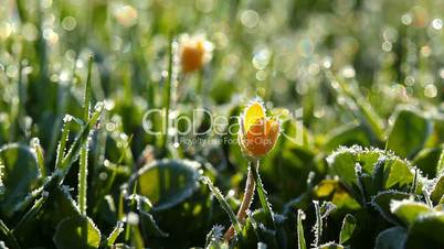 spring flowers in icegreen grass and drops of morning dew