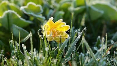 frozen spring flower