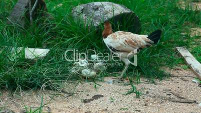 Hen with chickens.