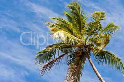 Kokospalme, Coconut palm
