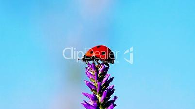ladybird and violet ears - macro