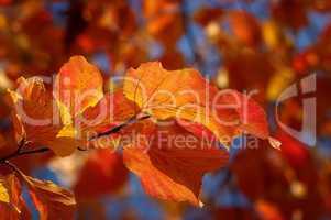 Herbstliche romatische Färbung der Blätter eines Baumes