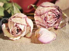 dried roses close up