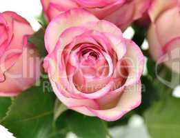 fresh pink roses close up