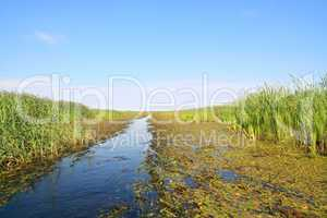bulrush in marsh