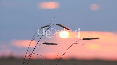 Closeup of wheat ears on breeze, red sunset sky