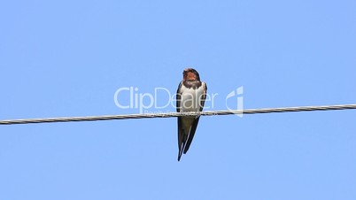 Swallow bird sit on electricity cable - blue sky background