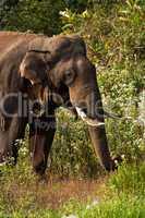 Indischer oder asiatischer Elefant, indian elephant